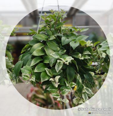 Aeschynanthus variegata - consegna SOLO su Milano