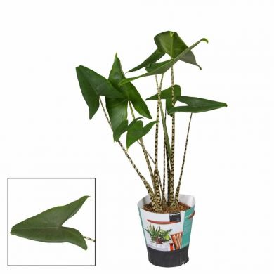 ALOCASIA - Zebrina - ONLY DELIVERY IN MILAN