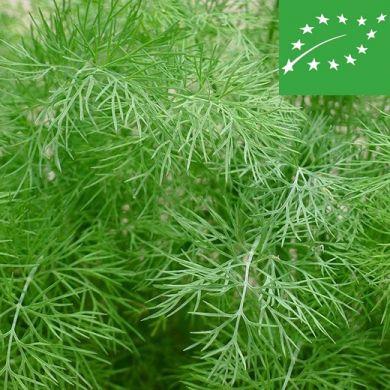 DILL (Anethum graveolens) -ORGANIC