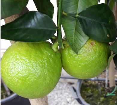 BERGAMOTTO (Citrus bergamia)