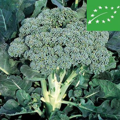BROCCOLI  -RAMOSO CALABRESE- organic