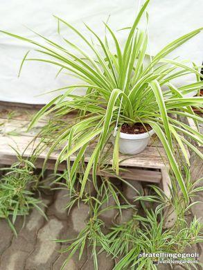 Chlorophytum - consegna SOLO su Milano