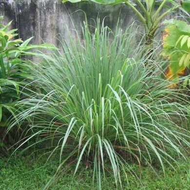 CITRONELLA-LEMONGRASS -CYMBOPOGOM FLEX- pianta in vaso