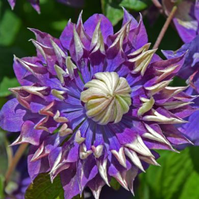CLEMATIDE (Clematis)-TAIGA-