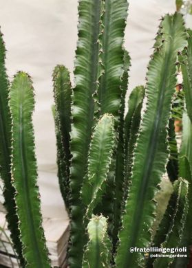 Euphorbia eritrea - consegna SOLO su Milano