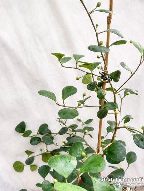 Ficus deltoidea - consegna SOLO su Milano