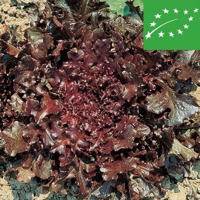 LETTUCE -RED SALAD BOWL- organic