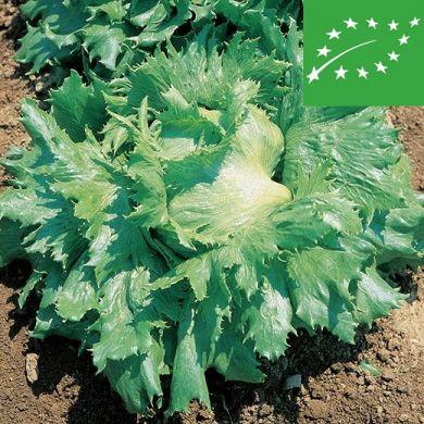 BUTTERHEAD LETTUCE - REGINA DEI GHIACCI -organic
