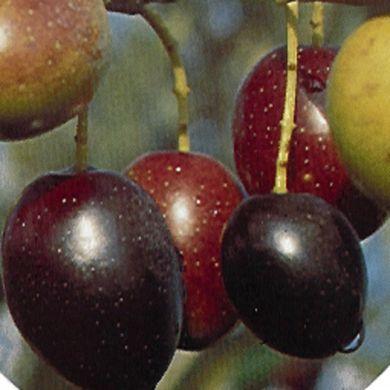 OLIVI - PICHOLINE-