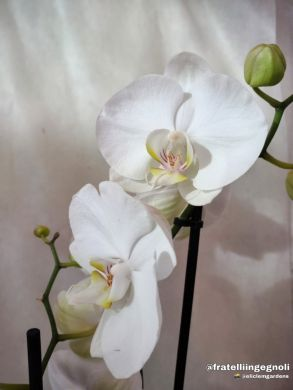 Orchidea Phalaenopsis - consegna SOLO su Milano