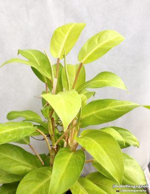 Philodendron GIALLO 'Malay Gold' - consegna SOLO su Milano