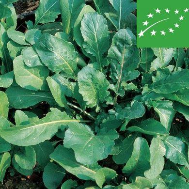 ARUGULA (Eruca sativa) - organic