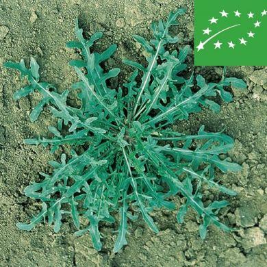 WILD ARUGULA (Diplotaxis tenuifolia) -organic