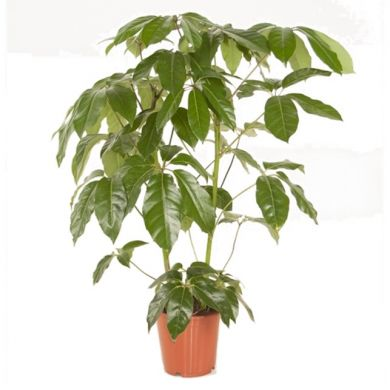 SCHEFFLERA - Actinophylla - ONLY DELIVERY IN MILAN