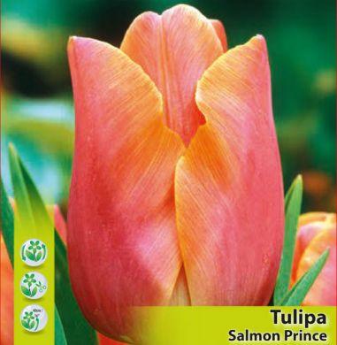 TULIPANO SEMPLICE PRECOCE- SALMON PRINCE-
