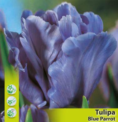 TULIPANO PAPPAGALLO -BLUE PARROT-