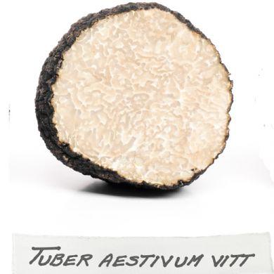 PIANTA MICORRIZATA CON TARTUFO SCORZONE ESTIVO ( Tuber aestivum)