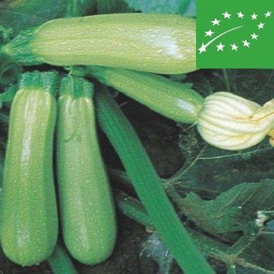ZUCCHINI  - GENOVESE - organic